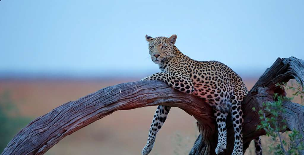 Spot the big cats on your game drive
