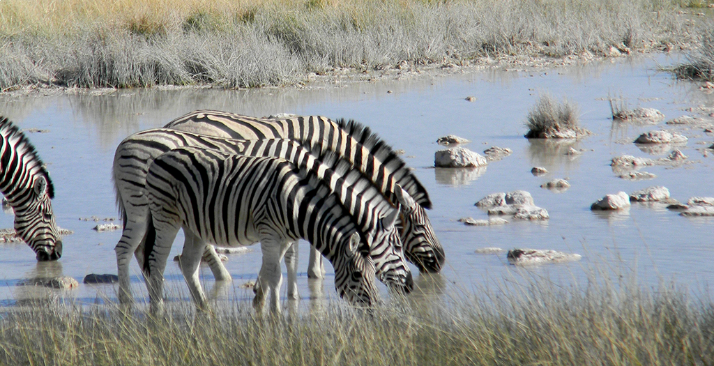 See zebra at a watering hole