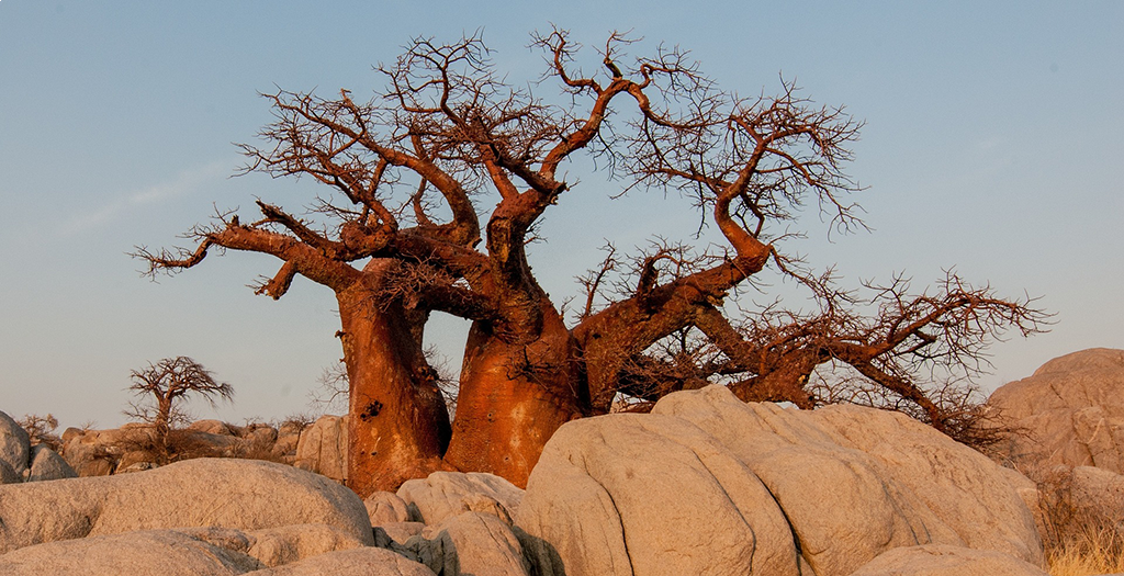 Visit ancient boabab trees