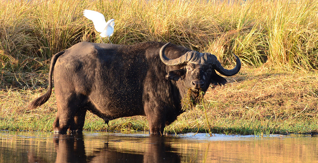 See water buffalo on your boat cruise
