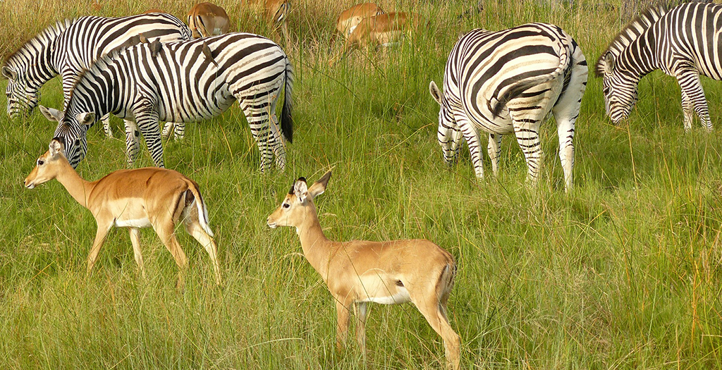 See herds of zebra dn antelop