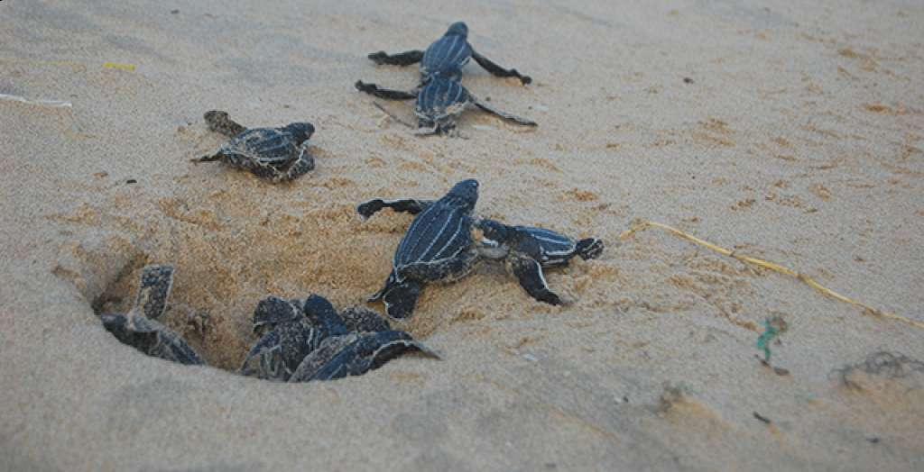 See hatchlings make a dash for the ocean