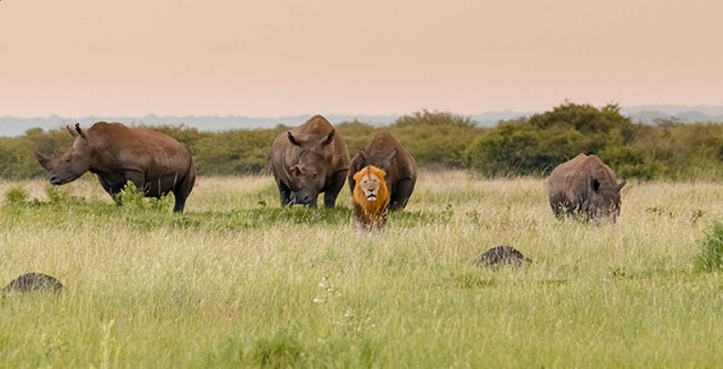 What rhinos roaming free in the wild