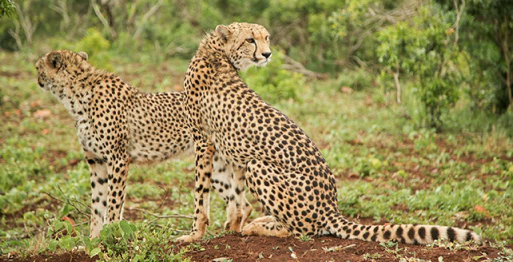 See leopards in the wild