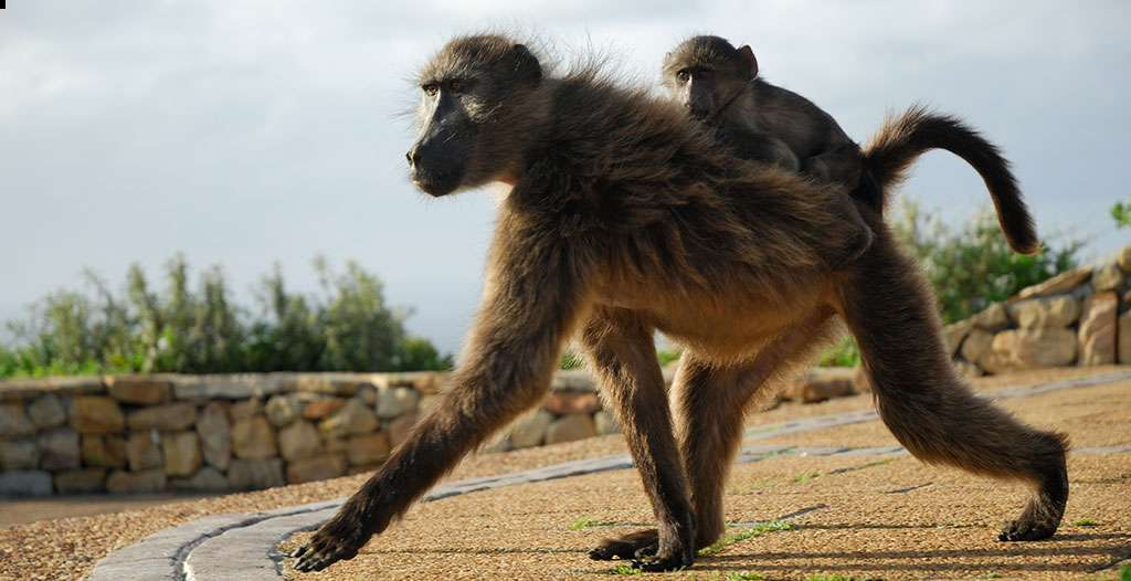 See wild babboons strolling past