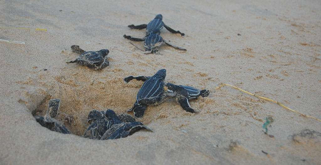 See hatchlings dash for the see