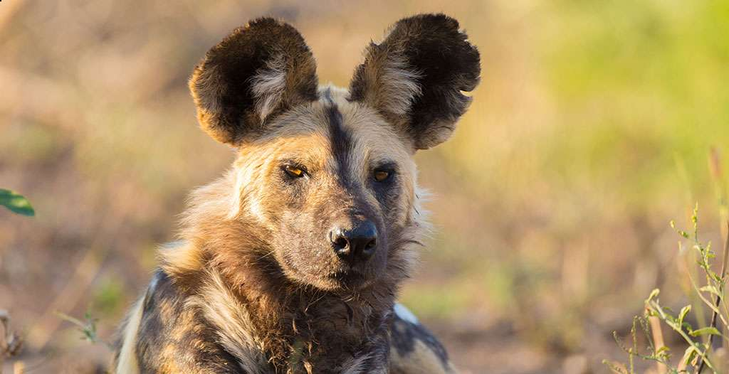 See the endangered wild dog