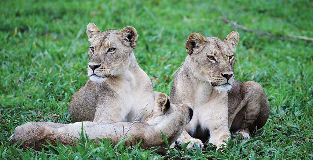 Meet the local lions